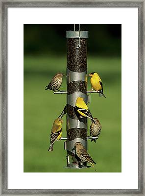 Pine Siskins (carduelis Pinus Framed Print by Richard and Susan Day