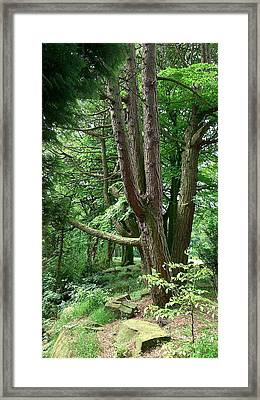 Pine Soldiers Framed Print by Phil Nolan