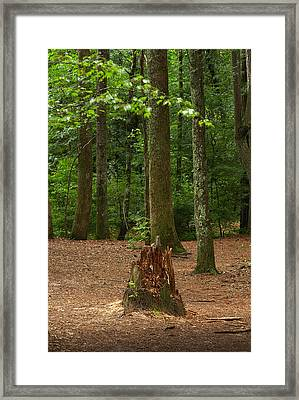 Pine Stump Framed Print