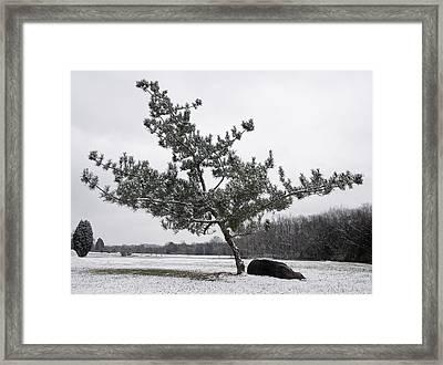 Pine Tree Framed Print by Melinda Fawver