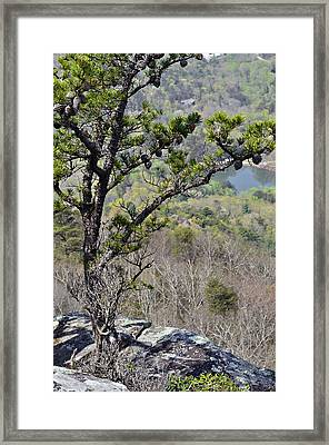 Pine Tree On A Mountain Framed Print by Susan Leggett
