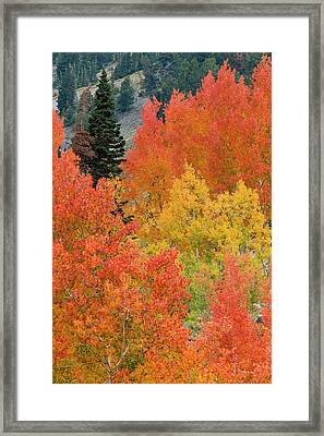 Pine Trees Among Yellow, Orange Framed Print