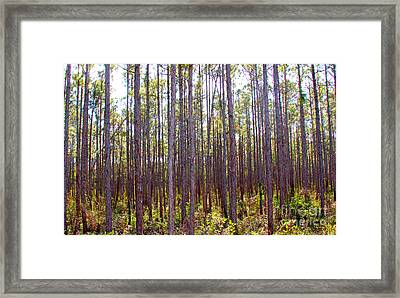 Pine Trees Framed Print by Carey Chen