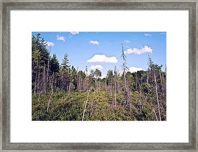 Framed Print featuring the photograph Pine Trees Forest by Marek Poplawski