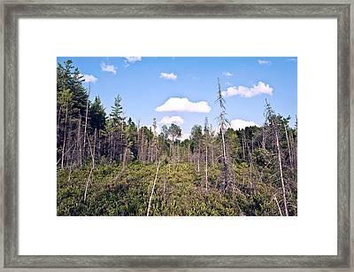 Pine Trees Forest Framed Print by Marek Poplawski
