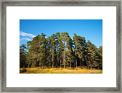Pine Trees Of Valaam Island Framed Print by Jenny Rainbow