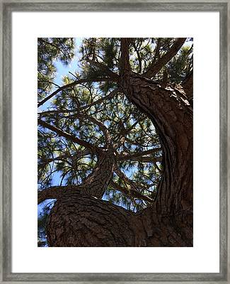 Pine Twist Framed Print