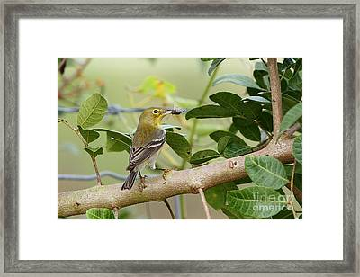 Pine Warbler With Lunch Framed Print by Jennifer Zelik