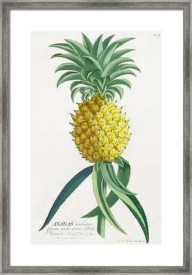 Pineapple Engraved By Johann Jakob Haid Framed Print by German School