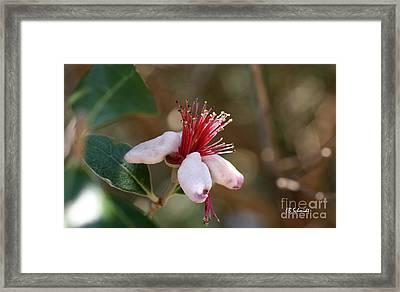 Pineapple Guava Blossom Framed Print by E B Schmidt