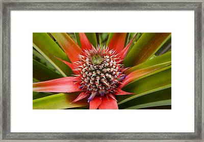 Pineapple Plant Framed Print by Aged Pixel