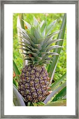Pineapple Plant Framed Print by Millard H. Sharp