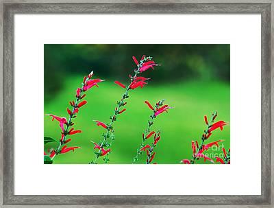 Pineapple Sage Framed Print by Kaye Menner