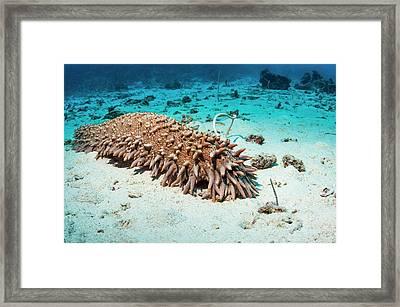 Pineapple Sea Cucumber Framed Print by Georgette Douwma