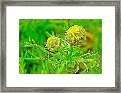 Pineapple Weed In Park Sierra Near  Coarsegold-california Framed Print by Ruth Hager