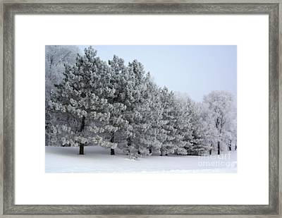 Pines In The Winter Framed Print