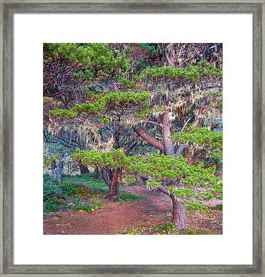 Pines With Hanging Lichens, Pacific Framed Print by Panoramic Images