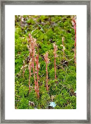 Pinesap Framed Print