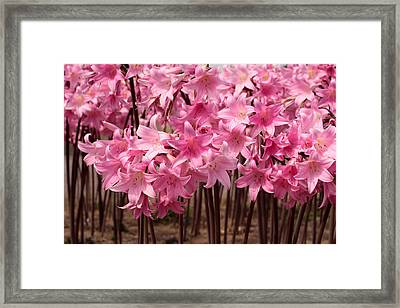 Pink Amaryllis Framed Print by Denice Breaux