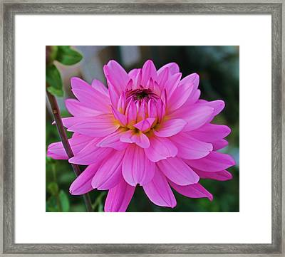 Pink And Beautiful Framed Print by Victoria Sheldon