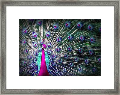 Pink And Blues Peacock Framed Print by Diana Shively