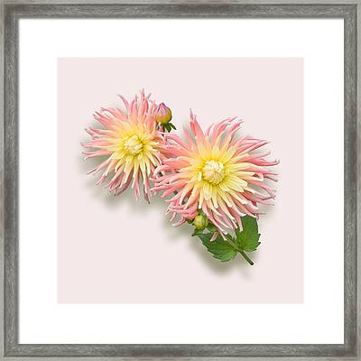 Pink And Cream Cactus Dahlia Framed Print by Jane McIlroy