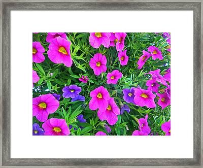 Pink And Purple Petunias Framed Print