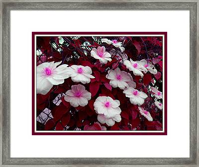 Pink And White Clematis  Framed Print