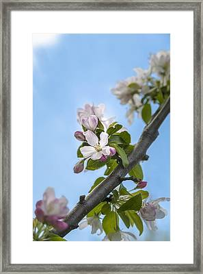 Pink And White Crabapple Flowers Framed Print by Laura Berman