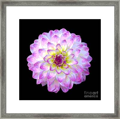 Pink And White Dahlia Posterized On Black Framed Print by Rosemary Calvert