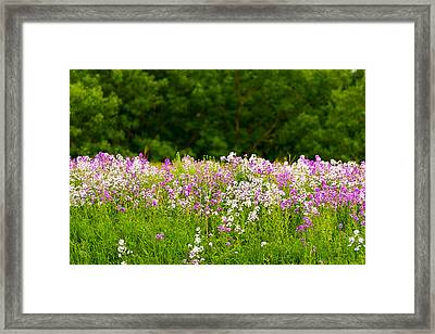 Pink And White Fireweed Flowers Framed Print by Panoramic Images