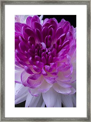 Pink And White Mum Close Up Framed Print
