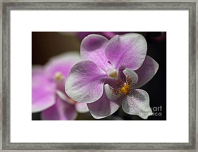 Pink And White Orchid Framed Print by Meg Rousher