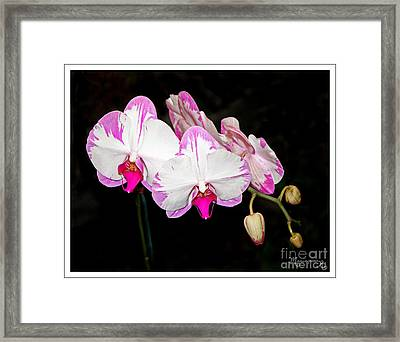 Pink And White Orchids Framed Print