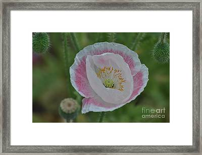 Pink And White Oriental Poppy Framed Print