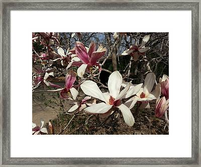 Framed Print featuring the photograph Pink And White Spring Magnolia by Caryl J Bohn