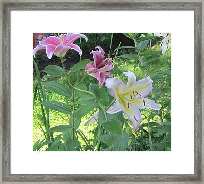 Pink And White Stargazer Lilies Framed Print