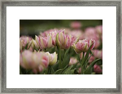Pink And White Tulip Framed Print by Lesley Rigg