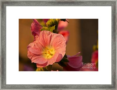 Pink And Yellow Hollyhock Framed Print by Sue Smith