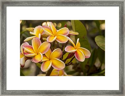 Pink And Yellow Plumeria 2 Framed Print by Brian Harig