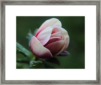 Pink Anemone Flower Bud Framed Print by Carol Welsh