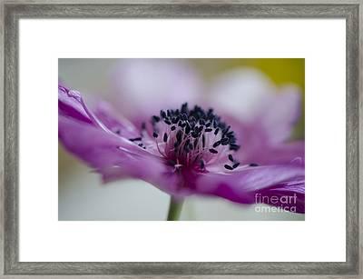Pink Anemone  Framed Print by Nicole Markmann Nelson