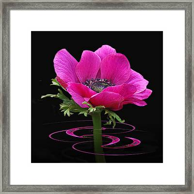 Pink Anemone Whirl Framed Print