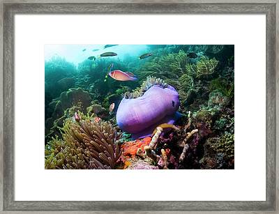 Pink Anemonefish With Magnificent Anemone Framed Print by Georgette Douwma