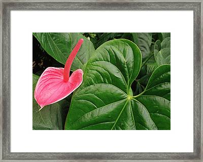 Pink Anthurium Framed Print by James Rasmusson