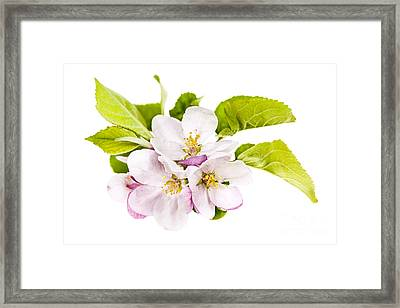 Pink Apple Blossoms Framed Print by Elena Elisseeva