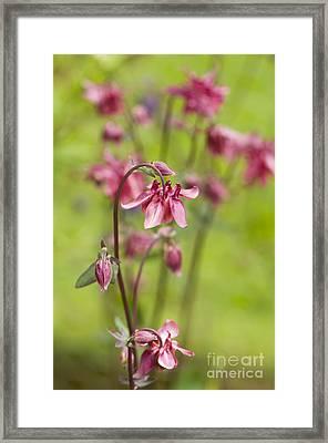 Pink Aquilegia Framed Print