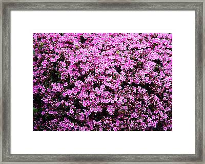 Pink As Pink Can Be Framed Print
