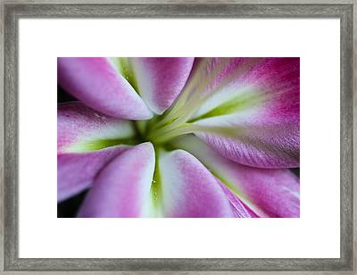 Pink Asiatic Lily Framed Print by Julie Andel