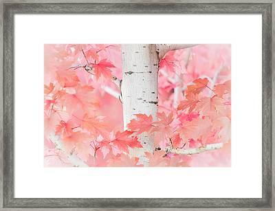 Pink Aspen Framed Print by Daniel Huerlimann